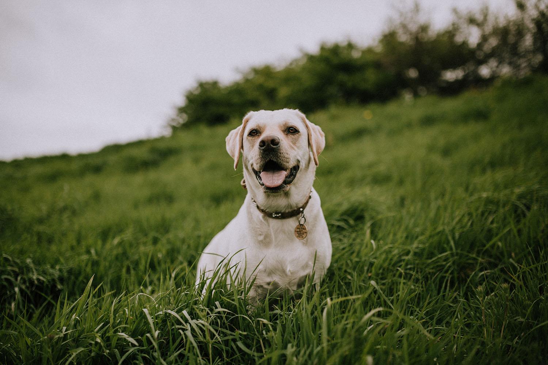 Un labrador dans un champ